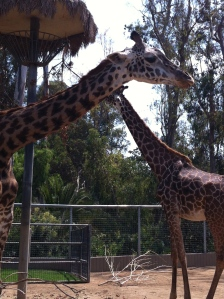 two giraffes facing each other