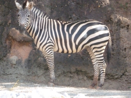 A zebra looking at the camera